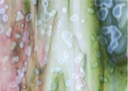 006343-0000-P-FULL<br>White, Olive Green,Gold Pink, Mottle,<br>Single Rolled